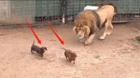 饲养员太残忍了,将两只小狗扔进狮子的笼子,没想到意外发生了