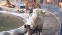 狮子也想咬啊,但这狗是园长的,没办法啊!