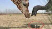 史上最壮观的战争,长颈鹿大战公象,招招致命打的难舍难分!