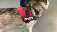 第一次看到哈士奇做服务犬,眼神温柔的要滴出水来!
