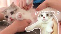 在主子面前夸别人家的猫,她会生气吗?减肥失败陷入自闭。结果还被剃毛,小脸超委屈
