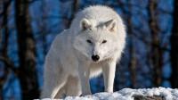 极地杀手北极狼,北极最凶狠的存在,麝牛也难逃其手