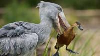 体型巨大的鸟类,鸟嘴十分锋利,可以轻松刺破鳄鱼的身体!