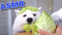 一只萨摩耶的吃播,撕咬圆白菜的声音清脆舒爽,一起来了解下!