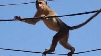 猴子爬高压线上玩耍,瞬间被电车成火猴,镜头记录全过程!