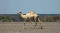 沙漠之舟,只有一个驼峰的骆驼,你见过吗?