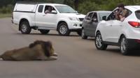 男子伸头给狮子拍照,没想到狮子却不满意了!镜头拍下全过程