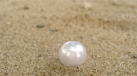 """沙滩出现""""巨型珍珠"""",遭到游客们疯抢,渔民赶忙阻止道出真相!"""