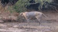 狮子被毒蛇咬中,在地上打滚疼痛难安,狮子家人无助的看着狮子