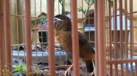10分钟精品画眉鸟大唱叫声,鸟儿学唱好声音!