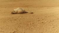 为啥渴死的骆驼不能乱摸?瞧瞧非洲小伙的下场你就知道了!
