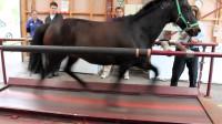 一匹马能跑多快?老外把它放在跑步机上,结果令人意外