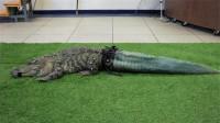 为救助断尾鳄鱼,人们3D打印了条假尾巴,没想到火成网红鳄!