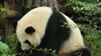 大熊猫思缘:白手套阿姨吃笋子,可有效率了