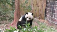 熊猫:大熊猫喜兰被头顶的苹果吸引,爬树速度可快了,够着苹果吃的好开心