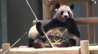 熊猫:熊猫妈妈日常带娃,甭管熊孩子怎么闹腾,只要别影响我吃就行