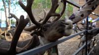 游览额尔古纳国家湿地公园,和蠢萌的驯鹿来一次亲密接触