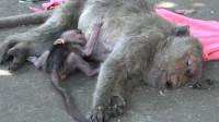 高龄母猴生下猴宝宝,却意外去世,小猴为生存竟做出这事