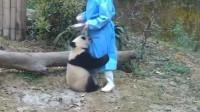 熊猫宝宝:奶妈你为什么不要我了,是不是心里有别的小熊了