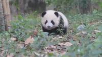 熊猫宝宝:你有本事叫我,你就得有本事别跑