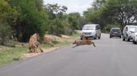 迫于生活压力的小鹿投狮自尽,狮群瞬间发狂,镜头拍下全过程