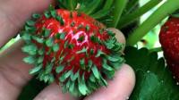 小伙脑洞大开,将草莓籽扔进营养土,一个月后收获意外惊喜