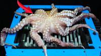老外将章鱼放入粉碎机中,10秒后,场面意外失控!