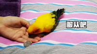 当鹦鹉想咬吃东西,为了满足主人的欲望,只能这么受累了