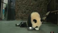 熊猫崽崽喝完4盆奶还要舔盆,结果还是不够吃,委屈到自闭