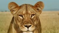 现实版狮子王,母狮单独狩猎却为保护幼崽大战鬣狗群,支撑到几时?
