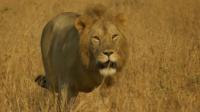 母狮为护幼崽不惧雄狮挑衅,被驱逐后的狮子该何去何从?