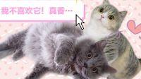 男追女隔座山,女追男隔层纱!两只猫的相爱过程堪称狗血玛丽苏偶像剧!