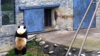 """大熊猫嫌""""上班""""时间太长,主动拉下闸门谢客,镜头拍下搞笑一幕"""