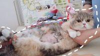 猫咪突然变胖,带去医院才发现肚子里有三只小宝宝!