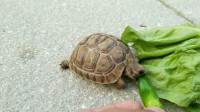 世界最辣的死神辣椒,被乌龟吃掉会发生什么?下一秒达到龟生巅峰