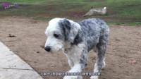 萌哥宠物世界:最有贵族气质的狗狗,贵重华丽的象征,明星们的宠儿