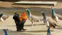 公鸡误入孔雀群,竟然还当起了首领,下一刻请憋住别笑!