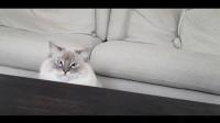 好奇心很重的布偶猫,想要一个东西,它会怎么做?