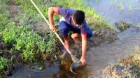 小哥田里捕鱼,传统的鱼叉,一棍下去就能捕获一条大鱼,牛了!