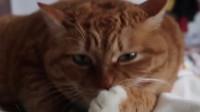 超肥的胖橘猫,在线舔爪性感撩人,猫:来啊,一起来玩啊!