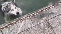看到别的狗游泳,哈士奇也往河里跳,主人表示你会游吗?