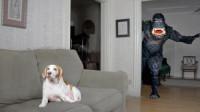 """""""黑猩猩""""吓唬狗狗却遭无视,下一秒千万憋住别笑,狗狗:我错了"""