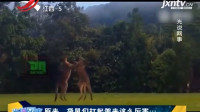 袋鼠在草地上,进行武艺切磋,这肌肉和大长腿看的让人心惊胆战