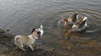 鸭子也喜欢遛狗 哈士奇被耍的团团转 在水里究竟会鹿死谁手?