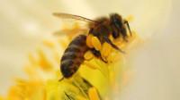 蜜蜂分蜂后不久就逃跑了,这是为什么呢?养蜂人来告诉你原因