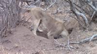 狮子正在掏洞,没想到直接被拉了进去,看来里面藏了个大家伙