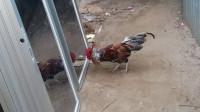 公鸡看到镜子里的自己,反应太逗了,请憋住别笑!