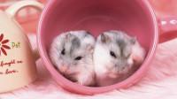百只母仓鼠进入繁殖期,主人把一只公仓鼠放进去,苦了公鼠了