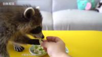 小浣熊第一次吃榴莲满脸嫌弃 ,网友:萌化了