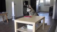 主人假装有事外出,把牛肉放桌上看哈士奇会不会偷吃